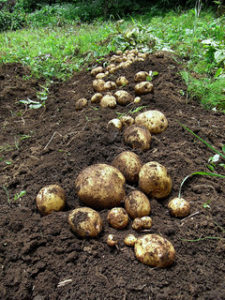 photo of harvested potatoes