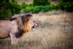 A Tame Lion